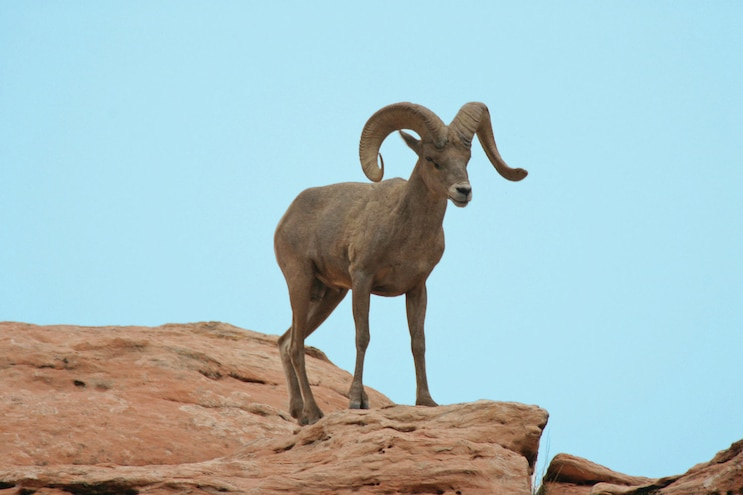 Zion And Bryce Canyon Utah Desert Bighorn Sheep