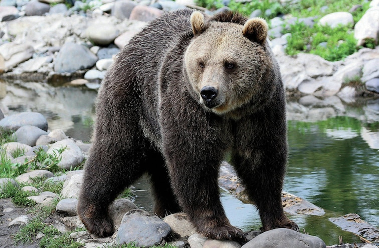 RVs And Bears Grizzlies