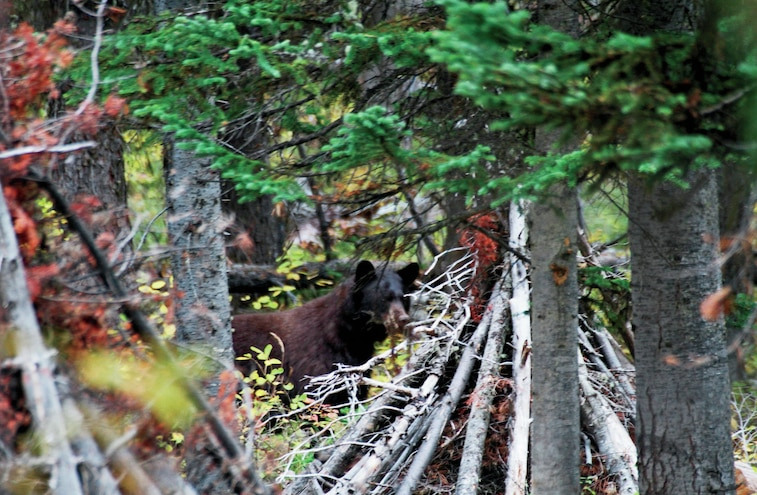 RVs And Bears Visiting Campsites